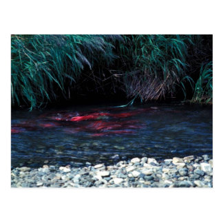 Red Salmon or Sockeye Salmon in Spawning Bed Post Card