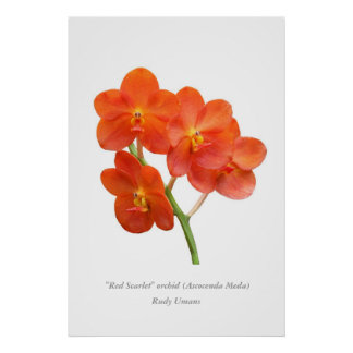 Red Scarlet Orchid - 2 Poster