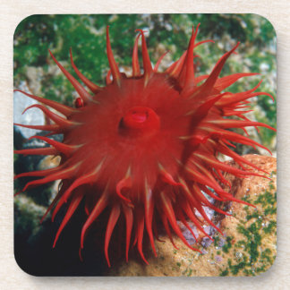 Red Sea Anemone In Pool Coaster