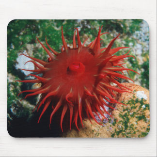 Red Sea Anemone In Pool Mouse Pad