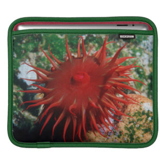 Red Sea Anemone In Pool Sleeve For iPads