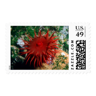 Red Sea Anemone In Pool Stamp