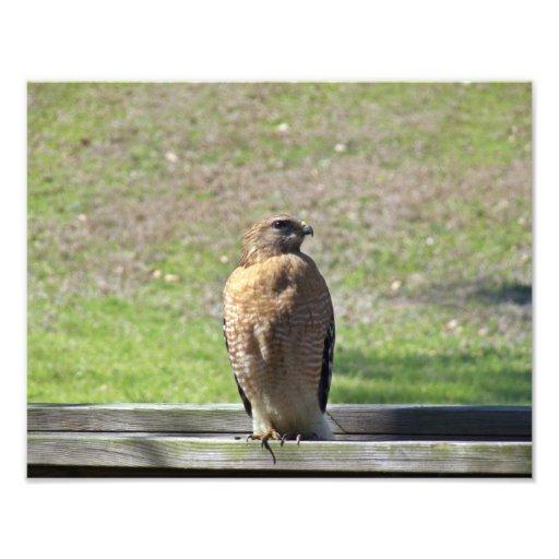 Red Sholdered Hawk Photo