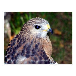 Red Shoulder Hawk Postcard