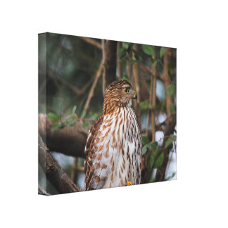 Red Shouldered Hawk 10 Canvas Print