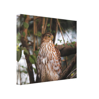 Red Shouldered Hawk 12 Stretched Canvas Print
