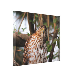 Red Shouldered Hawk 14 Stretched Canvas Prints