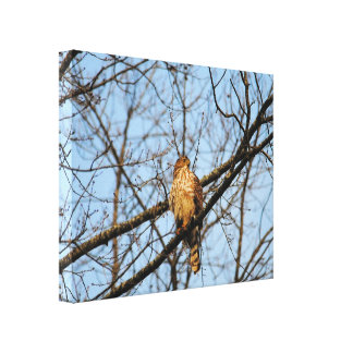 Red Shouldered Hawk 4 Stretched Canvas Print