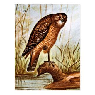 Red Shouldered Hawk art Postcard
