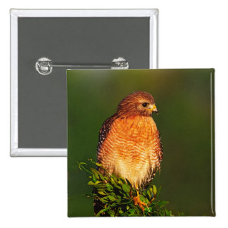 Red-shouldered Hawk (Buteo lineatus) in early Pin