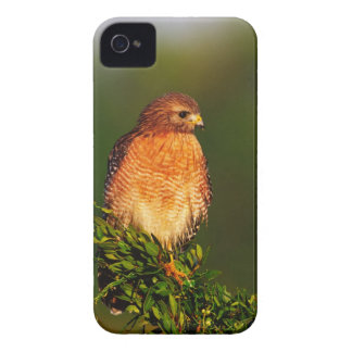 Red-shouldered Hawk (Buteo lineatus) in early iPhone 4 Case