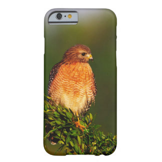 Red-shouldered Hawk (Buteo lineatus) in early Barely There iPhone 6 Case