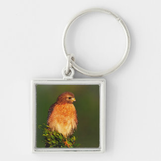 Red-shouldered Hawk (Buteo lineatus) in early Keychain