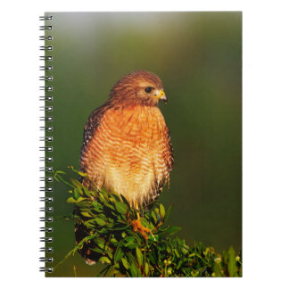Red-shouldered Hawk (Buteo lineatus) in early Notebook