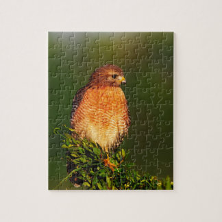 Red-shouldered Hawk (Buteo lineatus) in early Puzzle
