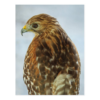 Red-shouldered Hawk (Buteo lineatus) postcard