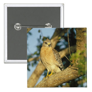 red-shouldered hawk, Buteo lineatus, sits on Button