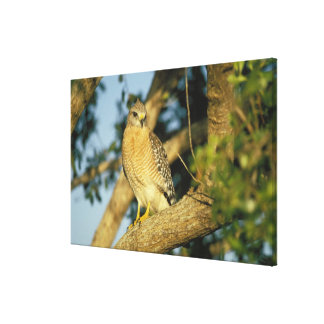 red-shouldered hawk, Buteo lineatus, sits on Canvas Print