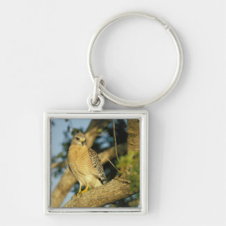 red-shouldered hawk, Buteo lineatus, sits on Keychain