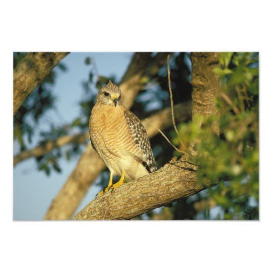 red-shouldered hawk, Buteo lineatus, sits on Photo Print