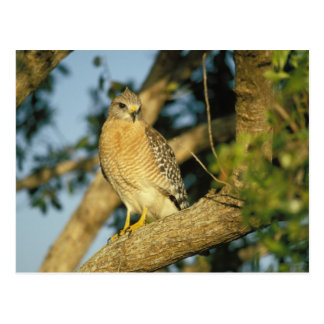red-shouldered hawk, Buteo lineatus, sits on Postcard