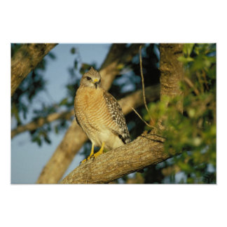 red-shouldered hawk Buteo lineatus sits on Poster