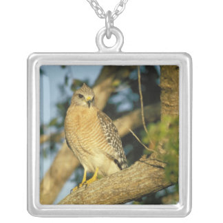 red-shouldered hawk, Buteo lineatus, sits on Silver Plated Necklace