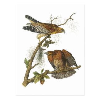 Red-shouldered Hawk by Audubon Postcard