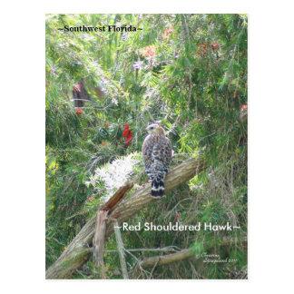 Red Shouldered Hawk Florida Postcard
