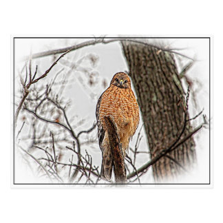 Red Shouldered Hawk in a tree Postcard