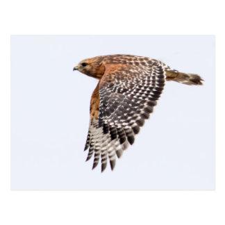 Red Shouldered Hawk in flight Postcard