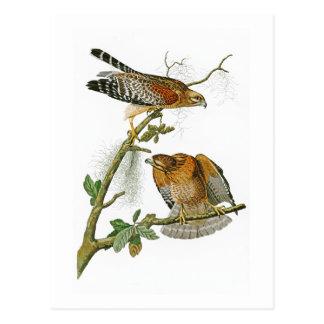 Red-shouldered Hawk John Audubon Birds of America Postcard