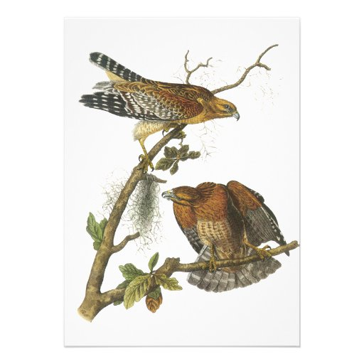 Red-shouldered Hawk, John Audubon Custom Invitation