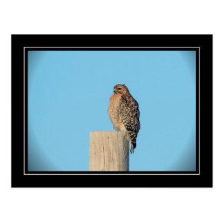 Red Shouldered Hawk on a post Postcard
