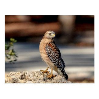 Red Shouldered Hawk on a rock Postcard