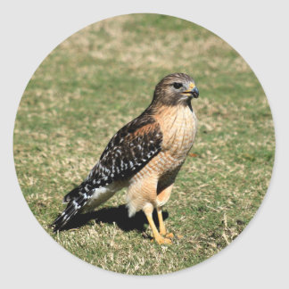 Red Shouldered Hawk on Golf Course Classic Round Sticker