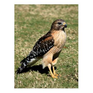 Red Shouldered Hawk on Golf Course Postcard