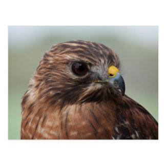 Red-shouldered Hawk photo postcard