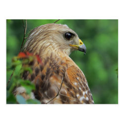Red-shouldered Hawk Portrait Postcard