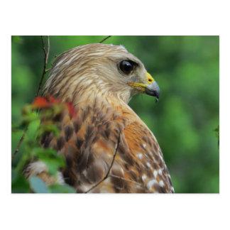 Red-shouldered Hawk Portrait Postcard