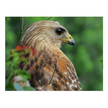 Postcard with Red-shouldered Hawk Portrait design