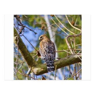 Red Shouldered Hawk Postcard