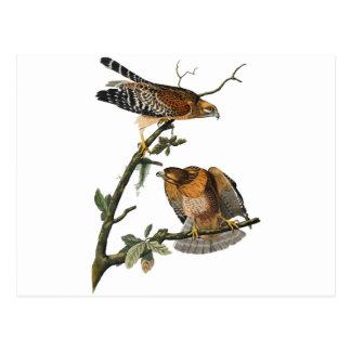 Red-shouldered Hawk Postcard