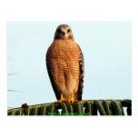 Red Shouldered Hawk Postcards