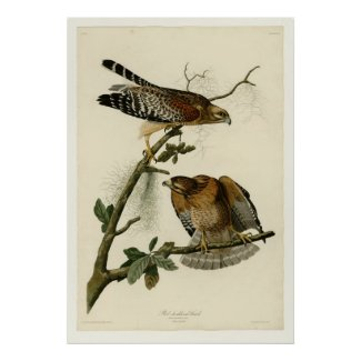 Red shouldered Hawk Posters