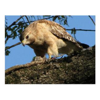 Red Shouldered Hawk with Prey Postcard