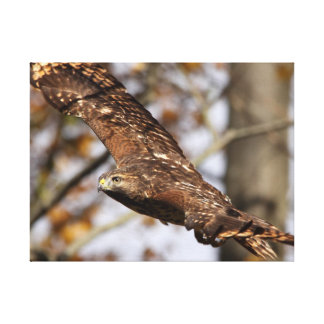 Red-shouldered Hawk wrapped canvas