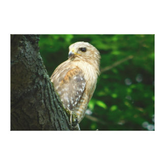 Red Shouldered Hawk Wrapped Canvas Print