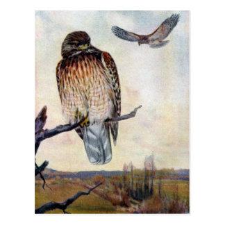 Red-shouldered Hawks Vintage Illustration Postcard