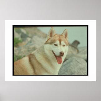 Red Siberian Husky Poster